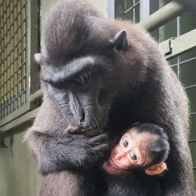 Joyo - Celebes Crested Macque at Singapore Zoo