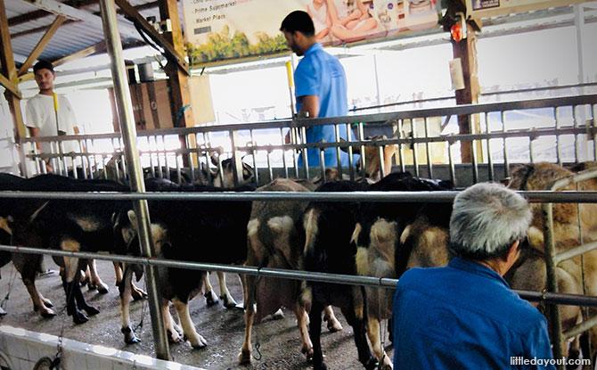 Goats at Hay Dairies
