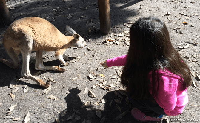 Feeding Kangaroos at Caversham Wildlife Park
