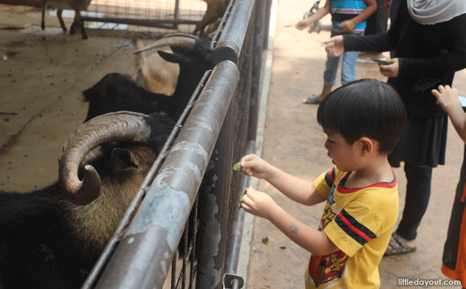 Feeding Goats on a Visit to the Singapore Zoo