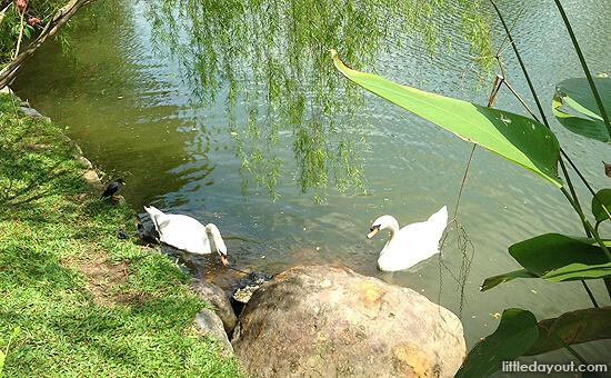Swans At Botanic Garden