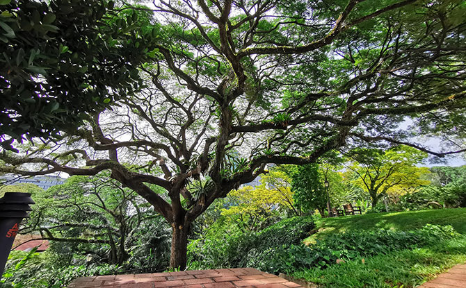 Raintrees at Fort Canning Hill