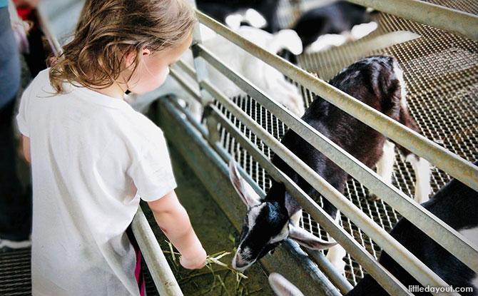 Goat feeding at Hay Dairies