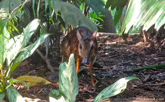 Mousedeer - Animals You Must See at the Singapore Zoo