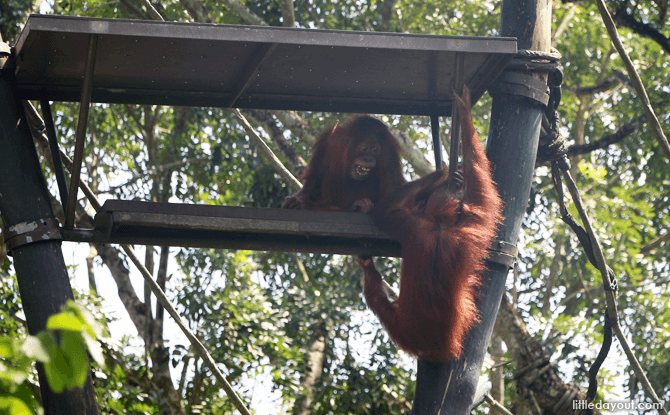 Orang Utans at the Singapore Zoo