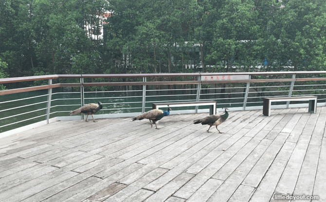 Peahens