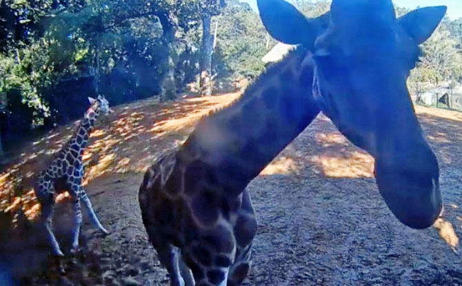 Missing The Animals At The Zoo? Check Out This Giraffe Cam