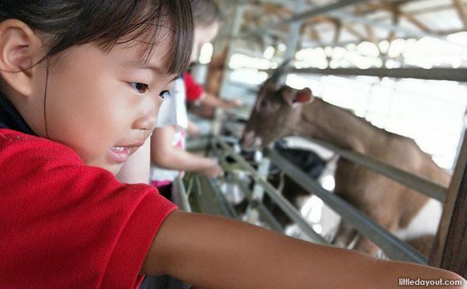 Feeding goats at Hay Dairies