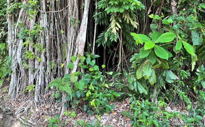 A Breadmaking Shed Hidden by a Strangling Fig