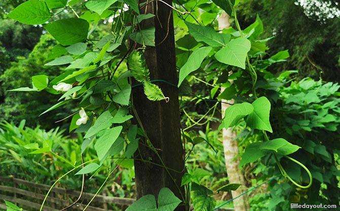 Winged bean plant