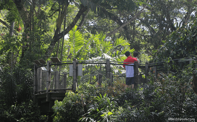 Orang Utan Boardwalk - Visiting the Singapore Zoo