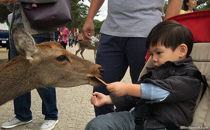 Feeding the deer from a stroller at Nara Park