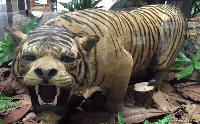 Tiger display at Bukit Timah Nature Reserve Visitor Centre Gallery