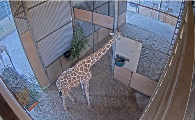 Giraffe's Night Quarters