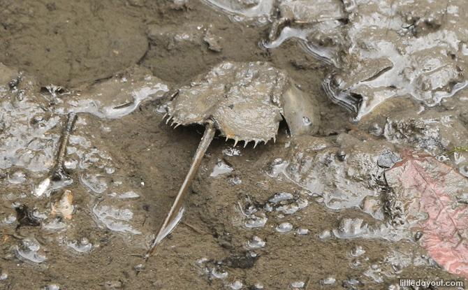 Horseshoe Crab at Sungei Buloh