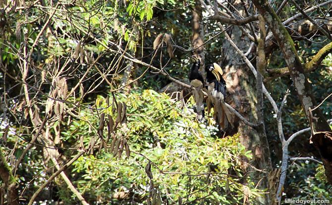 Pulau Ubin Chinese Kampong House: Oriental Pied Hornbills