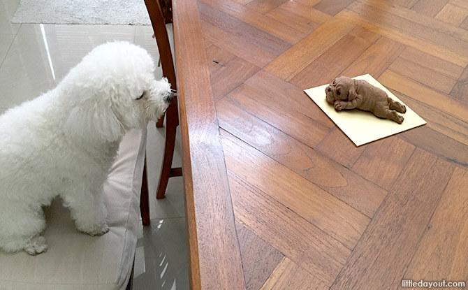 Poodle vs Shar Pei