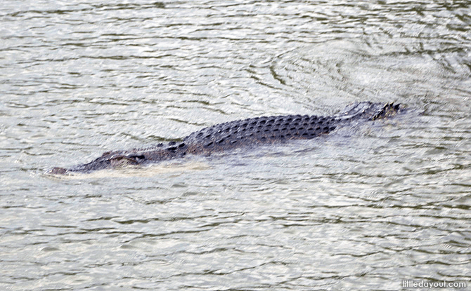 Crocodile at Sungei Buloh