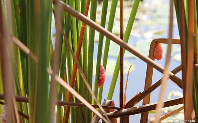 Pulau Ubin Chinese Kampong House: Golden Apple Snail Eggs