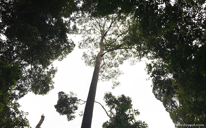 Rainforest Canopy at Bukit Timah Hill
