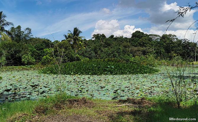 Ubin lotus pond