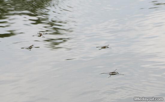 Pond Skippers