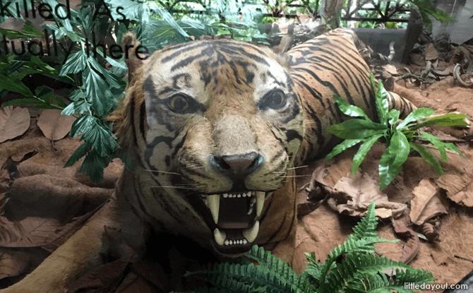 e17-Tiger