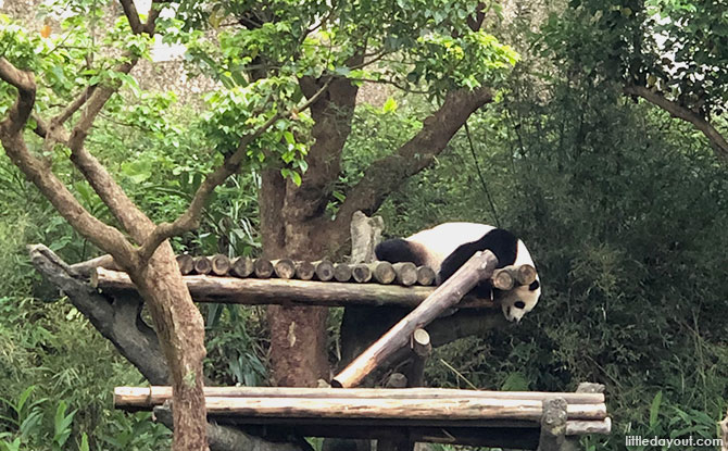 Pandas at the Taipei Zoo