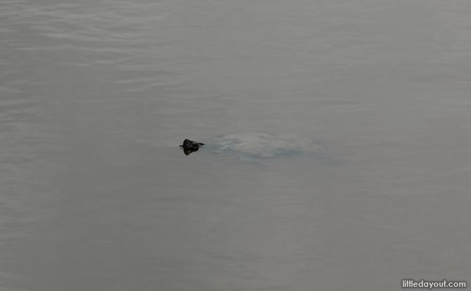 Sengkang Riverside Park turtle