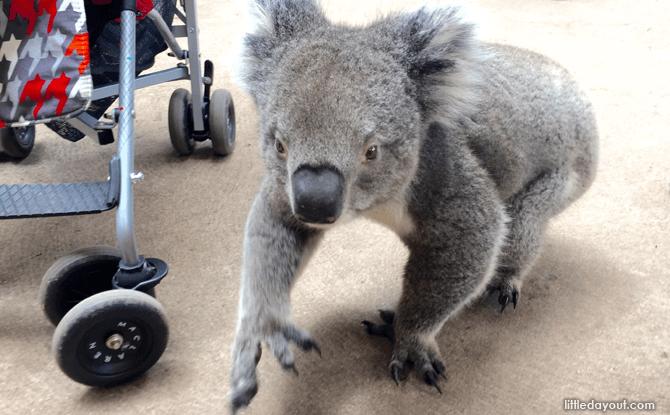 Caversham Koala