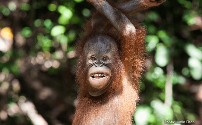 Orangutan Sabah Malaysia