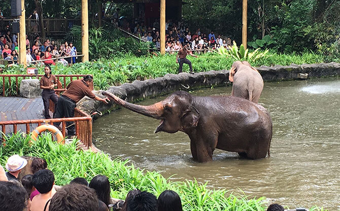 New Elephant Presentation at Singapore Zoo: Natural Behaviours On Display - Happy Birthday, Singapore Zoo! Here's A Look Back At Our Favourite Zoo Stories.