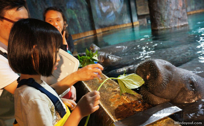 The little one feeding sweet potato leaves to a very well-mannered manatee.