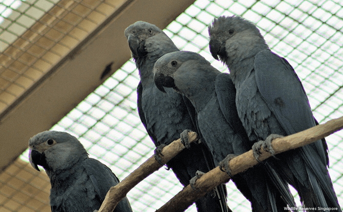 The Spix's macaw is the smallest species in the blue macaw family and distinguished by it grey-blue plumage.
