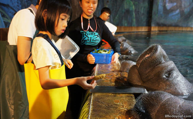 Mad About Manatees: Manatee Mania Behind-The-Scenes Tour At River Safari