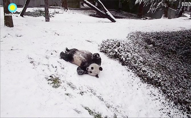 Pandas Playing In The Snow Warms Our Hearts