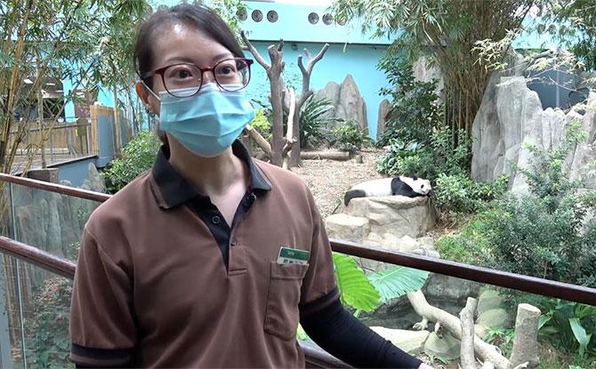Trisha Tay, the lead panda caregiver