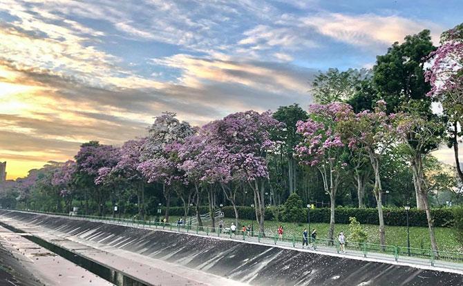 """""""Sakura Pink"""" Flowers In Singapore"""