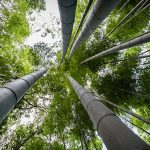 Arashiyama Bamboo Grove, Kyoto: Reaching Skyward